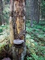 Suomen luonnonsuojeluliiton Satakunnan piirin  metsäretket Suomen luonnon päivänä
